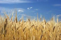 一粒の麦が地に落ちて死ななければ