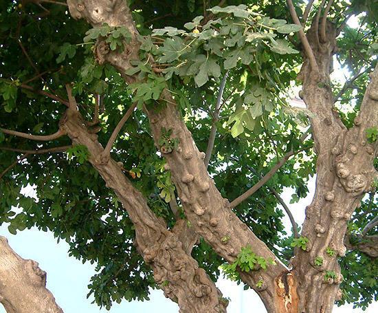 いちじくの木を枯らす奇跡