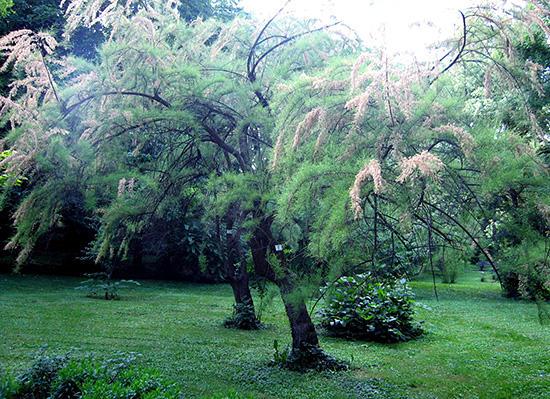 ギョリュウの木